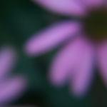 Domestic Wildflower?